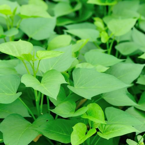 sweet potato crops grow in garden
