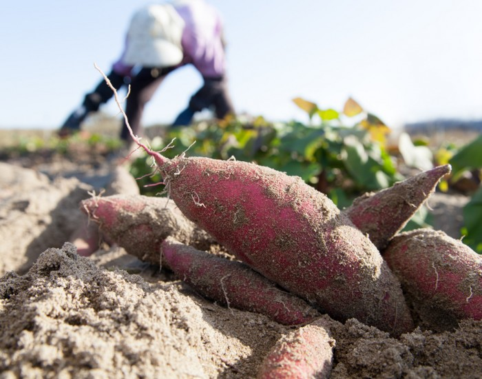 Trinity Frozen Foods sources all of its raw sweet potatoes from local North Carolina Farmers